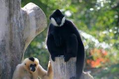 Männlicher Affe und weiblicher Begleiter Stockbild