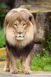 Männlicher afrikanischer Löwe Stockbilder