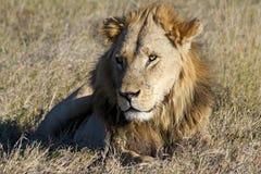 Männlicher afrikanischer Löwe Stockfotos