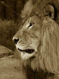 Männlicher afrikanischer Löwe Lizenzfreie Stockfotografie