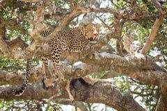 Männlicher afrikanischer Leopard in einem Baum mit einer Tötung, Serengeti, Tansania Lizenzfreies Stockbild