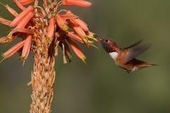 Männlicher Allen-` s Kolibri Lizenzfreie Stockbilder