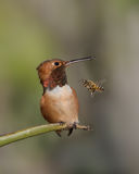 Männlicher Allen-` s Kolibri und Honigbiene Lizenzfreie Stockfotografie