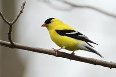 Männlicher amerikanischer Goldfinch Stockfoto