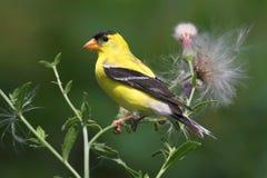 Männlicher amerikanischer Goldfinch Stockbilder