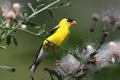 Männlicher amerikanischer Goldfinch Lizenzfreies Stockfoto