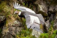 Männlicher Andenkondor im Flug Stockfoto