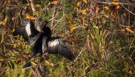 Männlicher Anhingavogel nannte Anhingaanhinga Stockfotos