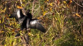 Männlicher Anhingavogel nannte Anhingaanhinga Lizenzfreies Stockbild