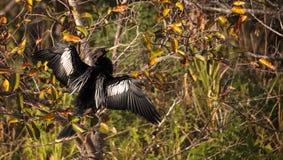 Männlicher Anhingavogel nannte Anhingaanhinga Lizenzfreie Stockfotos