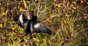 Männlicher Anhingavogel nannte Anhingaanhinga Stockfoto