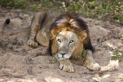 Männlicher asiatischer Löwe. Lizenzfreie Stockfotografie