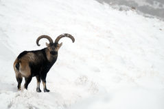 Männlicher Berg in der Sierra de Gredos, Avila, Spai Lizenzfreies Stockbild