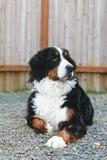 Männlicher Berner Sennenhund Lizenzfreie Stockfotografie