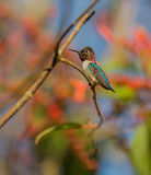 Männlicher Bienen-Kolibri auf einer Niederlassung Lizenzfreie Stockfotos