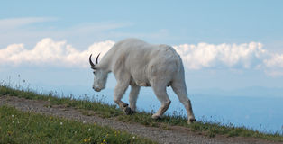 Männlicher Billy Goat auf Hurrikan Ridge/Hügel im olympischen Nationalpark in Washington Stockbilder
