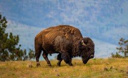 Männlicher Bison bei nationalen Bison Range stockbild