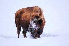 Männlicher Bison, der nach Gras unter dem Schnee während des Winters, Yello sucht lizenzfreie stockbilder
