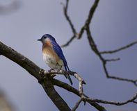 Männlicher blauer Vogel auf dem Ausblick Stockfotografie