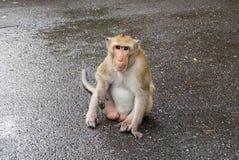 Männlicher blinder, langschwänziger Affe, der zur Kamera sitzt und anstarrt Lizenzfreie Stockfotos