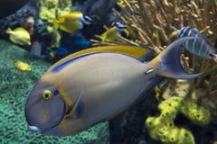 Männlicher blonder Naso Tang - Seetropischer Fisch Stockfotos