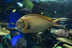 Männlicher blonder Naso Tang - Seetropischer Fisch Lizenzfreie Stockbilder
