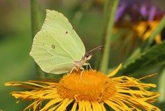 Männlicher Brimstone-Schmetterling auf Blume Lizenzfreies Stockbild