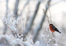Männlicher Bullfinch Stockfotografie