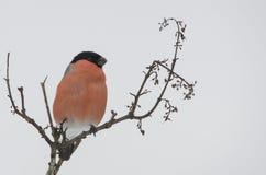 Männlicher Bullfinch Lizenzfreies Stockfoto