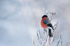 Männlicher Dompfaff auf einer schneebedeckten Anlage Lizenzfreie Stockfotos