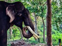 Männlicher Elefant Stockfotos