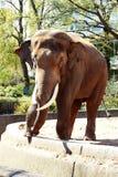 Männlicher Elefant am Zoo im Frühjahr Stockfotografie