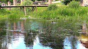 Männlicher Entenvogel brennen ihre Feder durch und spritzen im Flusswasser Stockfotos
