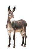 Männlicher Esel auf weißem Hintergrund Stockbild