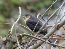 Männlicher Eurasier Sparrowhawk (Accipiter nisus) Lizenzfreies Stockbild