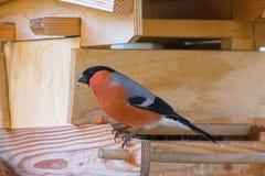Männlicher eurasischer gemeiner Bullfinch-Passerinevogel im roten orange blac stockbild