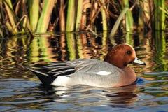 Männlicher eurasischer Wigeon, alias Pfeifente Mareca-Penelope, die in einem Kanal in den Niederlanden schwimmen lizenzfreie stockbilder