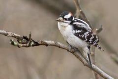 Männlicher flaumiger Spechtvogel hockte auf einem Baumast an einem bewölkten Tag Stockbilder
