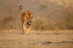 Männlicher gehender Kopf des Tigers auf Zusammensetzung lizenzfreies stockbild