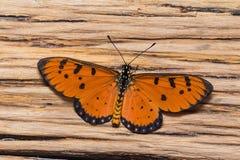 Männlicher gelb-brauner coster Schmetterling Stockfoto
