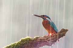 Männlicher gemeiner Eisvogel im starken Regen mit der Sonne, die von hinten scheint lizenzfreies stockbild