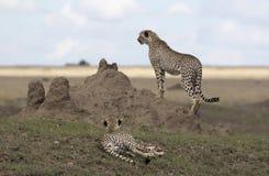 Männlicher Gepard, der heraus von einem Termitenbaum aufpasst Stockbilder