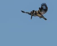 Männlicher gescheckter Eisvogel auf dem Flügel, der nach Lebensmittel sucht Stockfoto