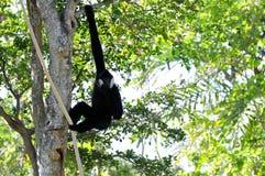 Männlicher Gibbon-Affe im Baum Stockbilder