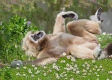 Männlicher Gibbon auf dem Gebiet auf grünem Gras Stockfotos