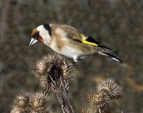 Männlicher Goldfinch Lizenzfreies Stockbild