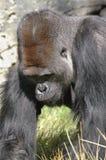 Männlicher Gorilla Lizenzfreies Stockbild