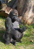 Männlicher Gorilla Lizenzfreie Stockbilder