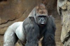 Männlicher Gorilla lizenzfreie stockfotos