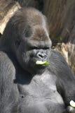Männlicher Gorilla, der eine Gurke isst Stockbild